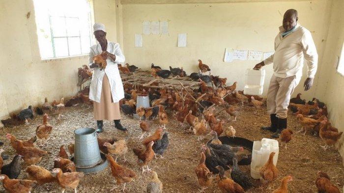 Ditutup hingga Januari 2020 Akibat Covid-19, Sekolah di Kenya Kini jadi Kandang Ayam
