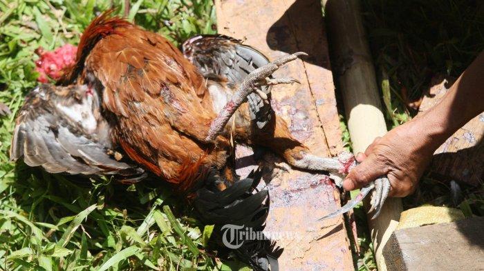 Ayam jantan mati setelah menjadi praktek perjudian dengan cara sabung ayam di wilayah Londa, Kesu, Toraja Utara, Sulsel, Jumat (14/8/2015). Praktek perjudian bebas yang melibatkan ratusan warga tersebut bertaruh mulai dari ratusan ribu hingga jutaan rupiah tanpa adanya pengawasan dari pihak berwajib. (TRIBUN TIMUR/SANOVRA JR)