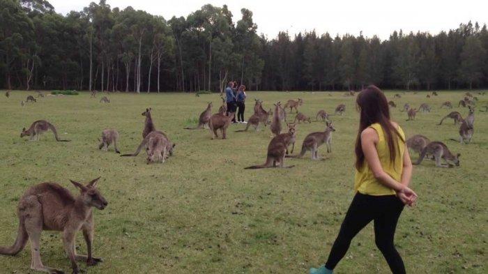 Hewan kanguru di wilayah Morisset, Negara Bagian New South Wales, Australia.