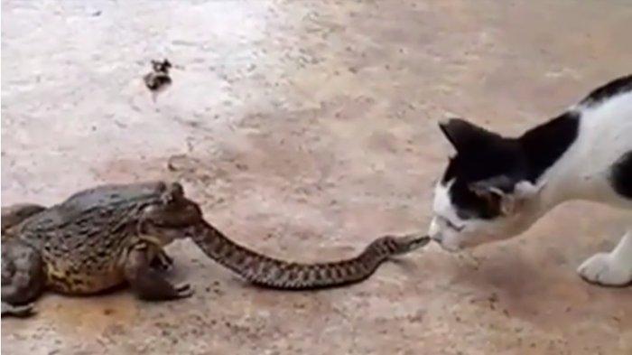 Seram atau Lucu? Setengah Tubuh Ular Ini Dimakan Katak, Tapi Masih Ingin Melawan Kucing