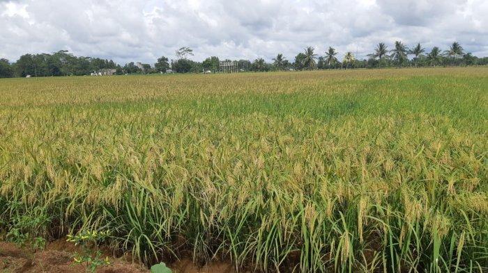 Food Estate, Mengubah Semak Belukar Jadi Lahan Produktif