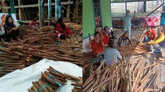 Berdasarkan temuan tiga siswa dari SMAN 2 Kota Palangkaraya itu, tanaman bajakah disebut bisa menyembuhkan kanker.