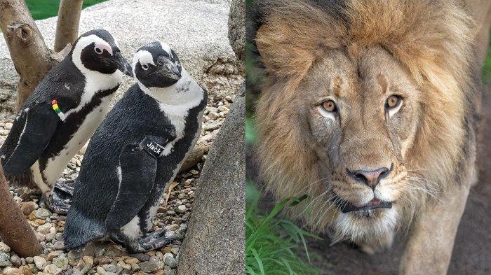Harimau, Beruang, dan Musang di Kebun Binatang California Disuntik Vaksin Covid-19