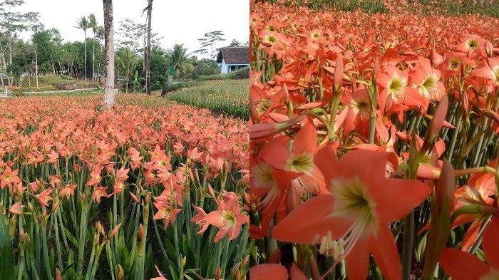 Kebun Bunga Amarilis di Gunungkidul Kembali Bermekaran, Ini Imbauan untuk Pengunjung