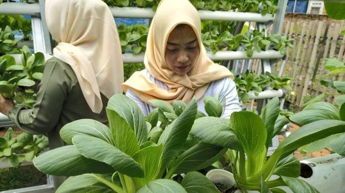 Serunya Memanen Aneka Sayuran Segar dari Kebun Hidroponik Hankook Tire di Desa Cicau