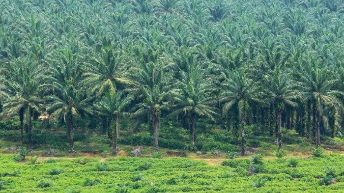 KPK Temukan Sejumlah Masalah Ekspansi Kebun Kelapa Sawit di Papua Barat