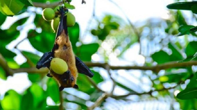 Ilustrasi - Kelelawar buah.