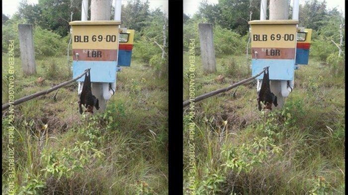 Kelelawar Raksasa Tersengat Arus Listrik, Kawasan Blangbintang hingga Lambaro Padam