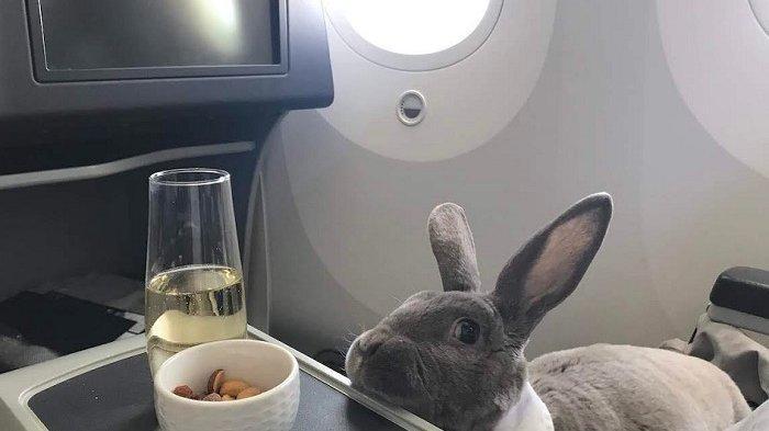 Kisah Kelinci Terbang di Kelas Bisnis Menuju Jepang Jadi Viral di Medsos