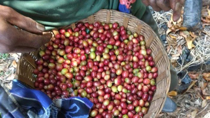 Ekspor Perdana ke Amerika Serikat, Kopi Arabika Kayumas Berstandar Fair Trade