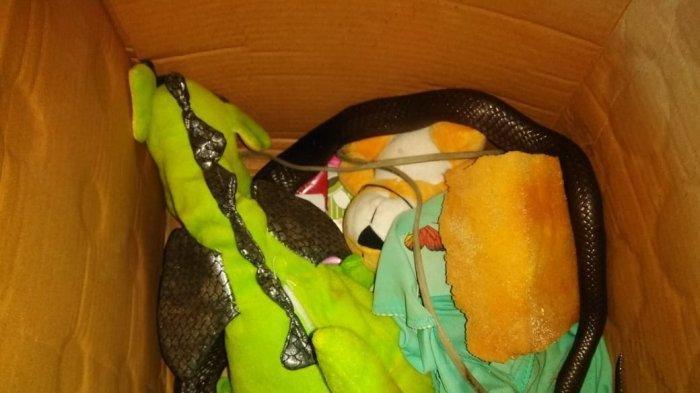Serem, Ular Kobra Jawa Ditemukan di Kamar Warga Ciputat, Ngumpet di Bawah Boneka Anak