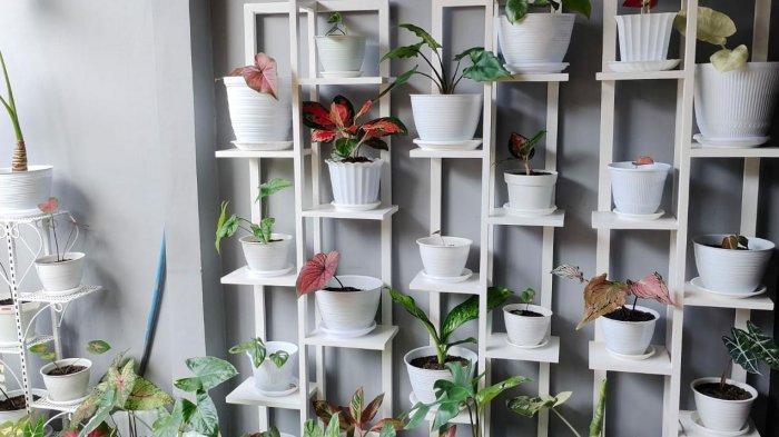 Koleksi tanaman hias milik Djaninul Muttakin