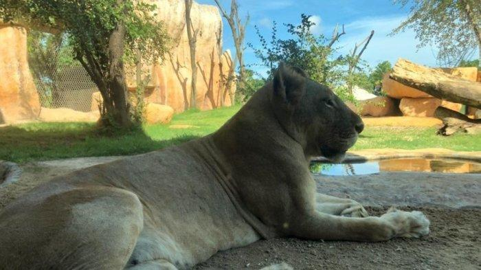 Bali Zoo Siap-siap Datangkan Satwa Asli Afrika