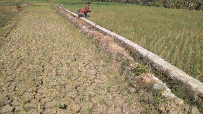 Sawah Puso Akibat Banjir, Petani Kulonprogo Diingatkan Pentingnya AUTP