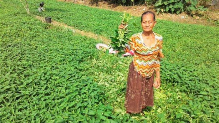 Agrowisata Kang Bejo Balikpapan Urat Nadi Kehidupan Petani Dan Daulat Kangkung Di Tengah Perkotaan Tribunnews Com Mobile