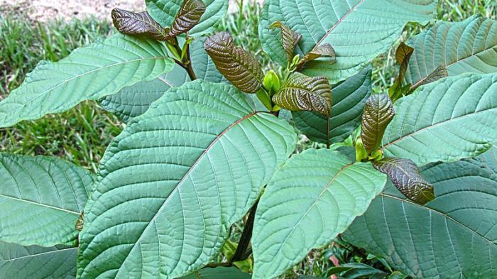 Kratom yang Sempat Disebut Memiliki Efek seperti Ganja Kini Ditetapkan sebagai Tanaman Herbal
