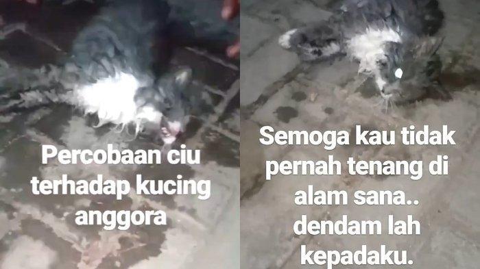Viral video kucing ras dicekoki ciu alias minuman keras, kejang-kejang hingga akhirnya mati.