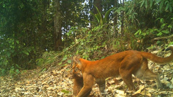 Kucing Emas Ini Masuk Gudang Rumah Warga Warga Sebut Harimau Kecil Tribunnews Com Mobile