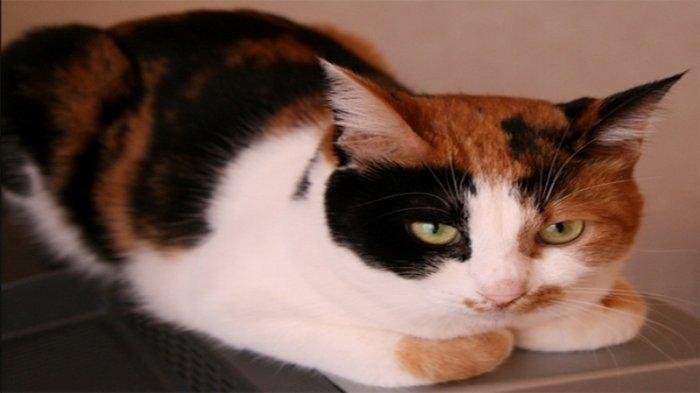 Kucing Tiga Warna Jantan Berharga 30 Juta Yen Di Jepang Tribunnews Com Mobile