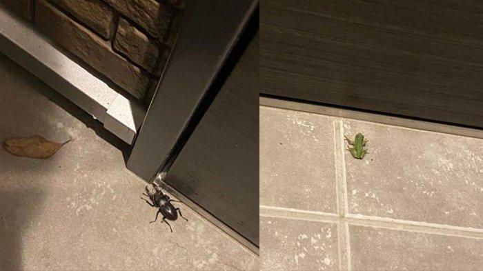 Kumbang kelapa atau Stag beetleatau Kuwabata (kiri) dan Katak (kanan) ditaruh di depan pintu.