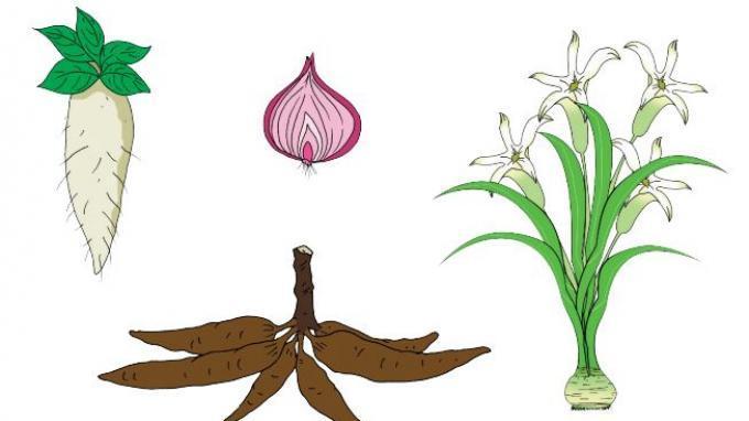 Kunci Jawaban Tema 1 Kelas 3 SD Halaman 168 169 172 Subtema 4: Perkembangbiakan Tumbuhan dengan Umbi