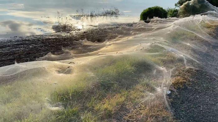 Pasca Banjir Besar di Australia, Jaring Laba-laba Raksasa Bermunculan di Wilayah Pedesaan