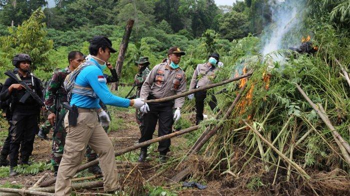 Badan Narkotika Nasional (BNN) kembali menemukan ribuan meter ladang ganja siap panen. Ladang yang berada pada ketinggian 716 mdpl tersebut ditemukan di sebuah bukit yang berada di kawasan Desa Pulo Kecamatan Seulimeum, Kabupaten Aceh Besar, Provinsi Aceh pada titik koordinat N 05°27.735' E 095°38.109.