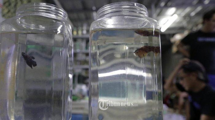 Peternak ikan cupang melelang ikan cupang hias dagangannya menggunakan media sosial (daring) dikawasan Ciputat, Tangerang Selatan, Sabtu (19/9/2020). Pandemi Covid-19 berdampak kepada sektor UMKM peternak ikan cupang. Lelang mengunakan media sosial jadi salah satu pilihan untuk bertahan selama Covid-19. Tribunnews/Jeprima