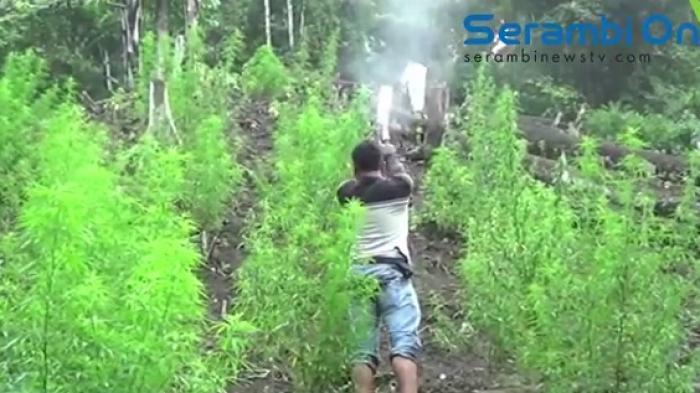 Pembukaan Ladang Ganja di Pegunungan Beutong Ateuh Aceh Makin Banyak