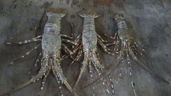 Keluhan Nelayan Lobster Setelah Ekspor Digagalkan Bea Cukai