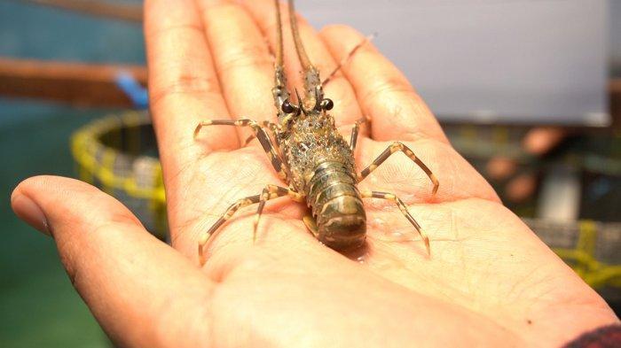 Ketua MPR Minta Aturan Larang Ekspor Benih Lobster Dijalankan Dengan Serius