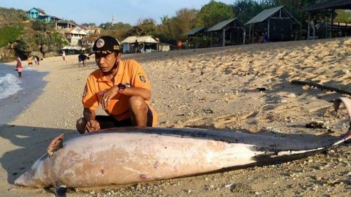 Lumba-lumba Ditemukan Mati di Pantai Sundak Gunungkidul, Panjang 2,5 Meter Berat 300 Kg