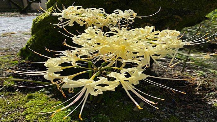 Bunga Higanbana Dipercaya Masyarakat Jepang Memiliki Hubungan dengan Kematian & Simbol Perpisahan