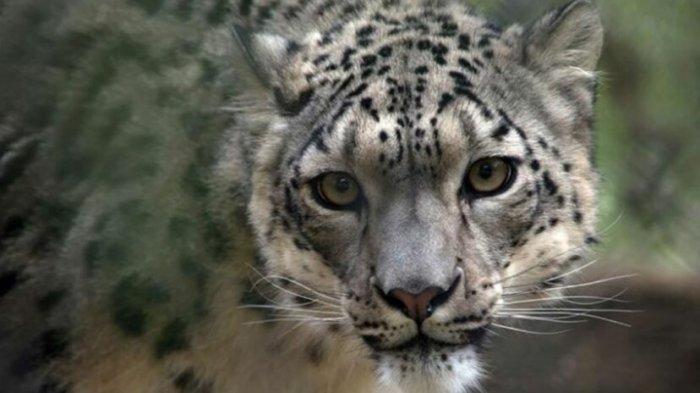 3 Macan Tutul di Kebun Binatang Positif COVID-19, Diduga Tertular Petugas yang Tanpa Gejala