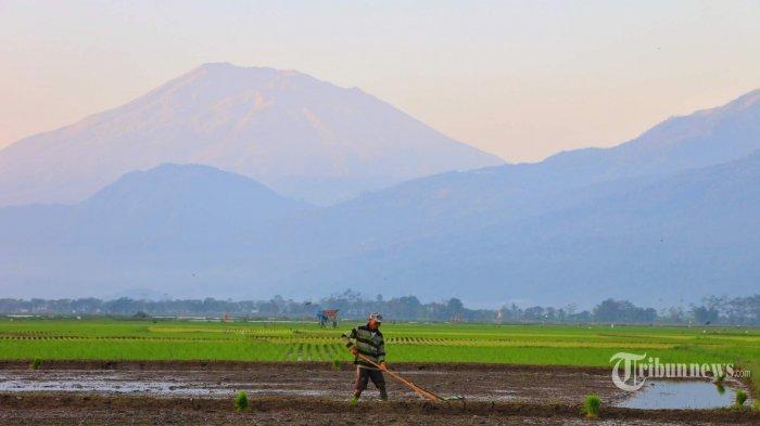 Pupuk Subsidi Hilang di Pasaran, Petani Teriak