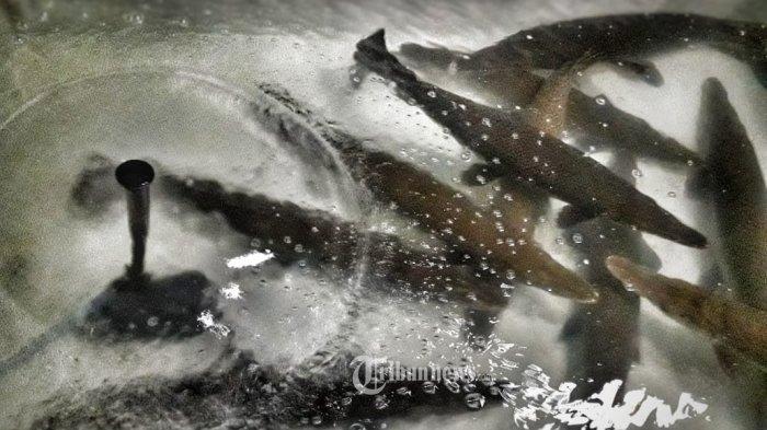 Mengenal Ikan Alligator: Ikan Predator Air Tawar, Dilarang Dipelihara di Indonesia, Ini Alasannya