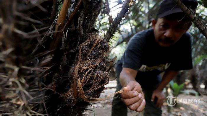 Harga Hanya Rp 1.000 per Kg, Petani Salak di Karangasem Bali Ramai-ramai Babat Pohon Salak
