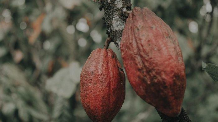 Menggenjot Ekspor Kakao Indonesia di Uni Eropa