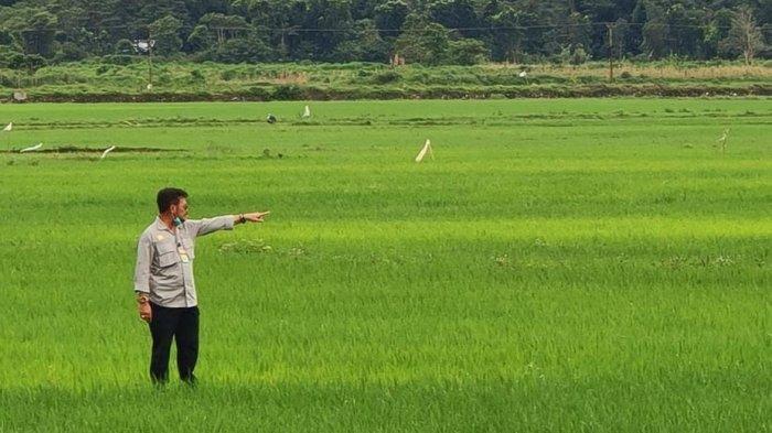 Berkat Irigasi Pertanian, Petani Simalungun semakin Intens Bercocok Tanam