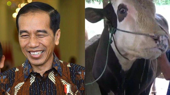 Dibeli Seharga Rp 85 Juta, Mike Tyson si Sapi Kurban Jokowi Miliki Berat Lebih dari 1 Ton dan Dimandikan 2 Kali Sehari