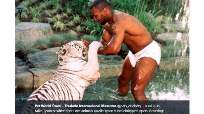 Mike Tyson sedang bermain dengan harimau peliharaannya.