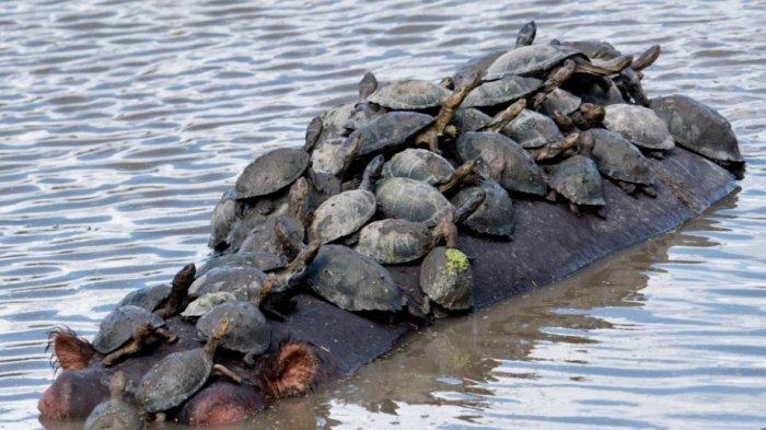 Korea Utara Diisukan Sarankan Warganya Makan Kura-kura karena Dilanda Kelaparan