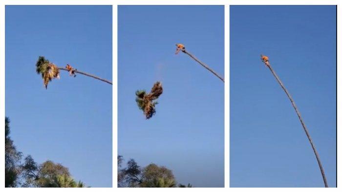 Viral di Medsos, Video Penebang Pohon Berayun di Atas Pucuk Palem Setinggi 30 Meter