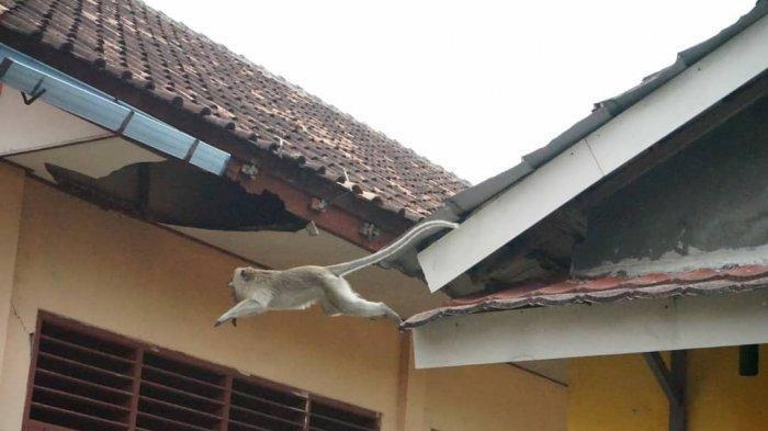 Warga Panik, Monyet Liar Bersarang di Sekolah, BPBD Kabupaten Tangerang Diminta Siapkan Obat Bius