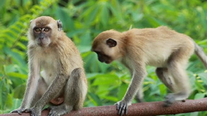 Monyet-monyet Liar yang Bikin Resah Warga Surabaya Ternyata Bersembunyi Rumah Kosong Ini