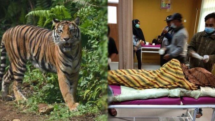 Mustadi warga desa Bulan Pajar Muaraenim Tewas Diterkam Harimau