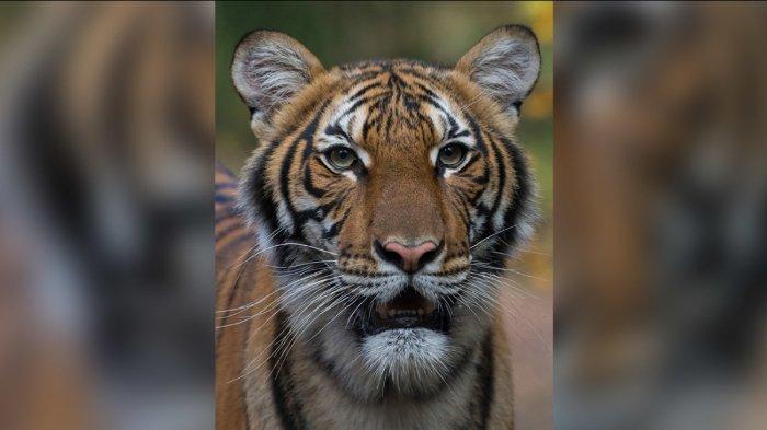 Nadia, harimau di New York yang positif mengidap virus corona