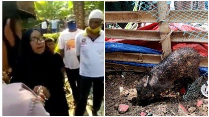 (Kiri) tangkap layar video tuduhan Ibu Wati ke tetangganya dan (Kanan) foto babi yang diamankan warga di Sawangan Depok.