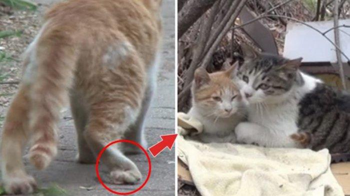 Terenyuh Kucing Normal Bersahabat Dengan Kucing Cacat Melindunginya Dari Gangguan Kucing Lain Tribunnews Com Mobile