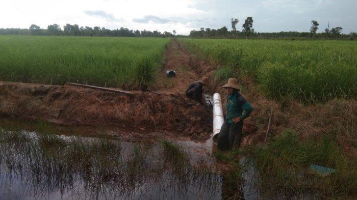 Kementan Bangun Konstruksi Optimasi Lahan Rawa untuk Petani Barito Kuala